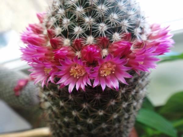к чему цветет кактус: приметы