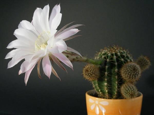 к чему цветет кактус дома: приметы