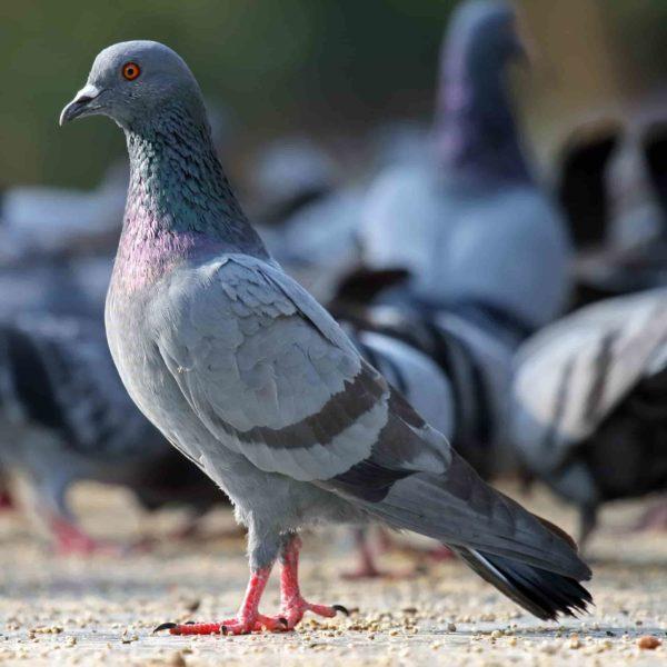 красивый голубь