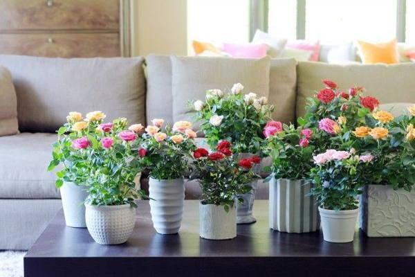 комнатные, домашние розы