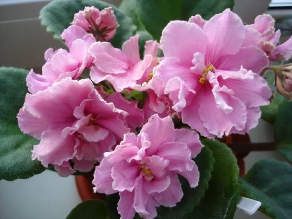 розовые фиалки