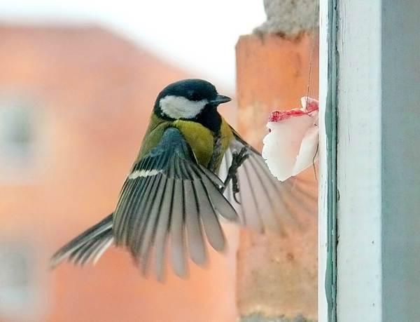Синица залетела в дом через окно или балкон: к чему это приведет?