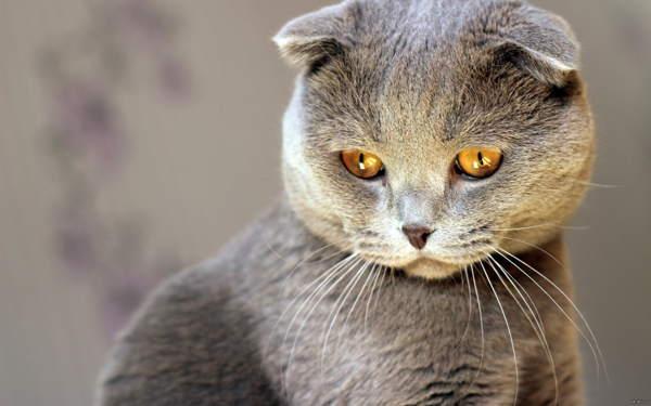 серая кошка в доме