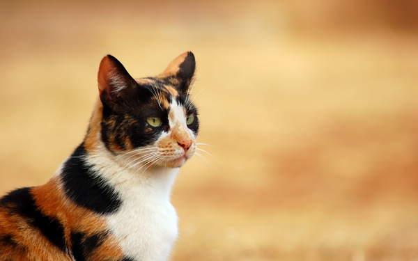 кошка 3-цветная