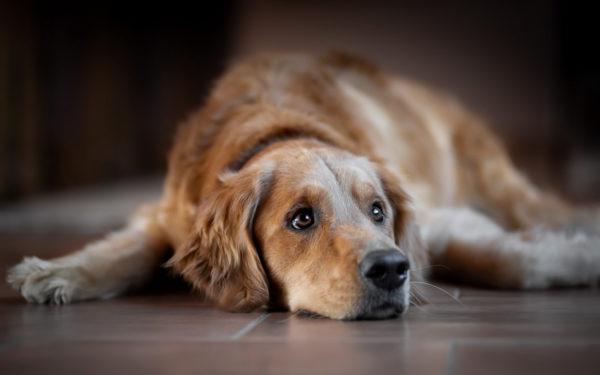 сонник беременная собака