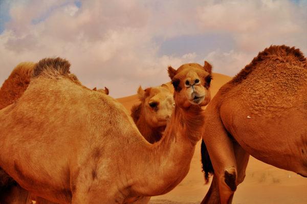 К чему снится верблюд