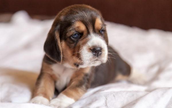сонник щенок