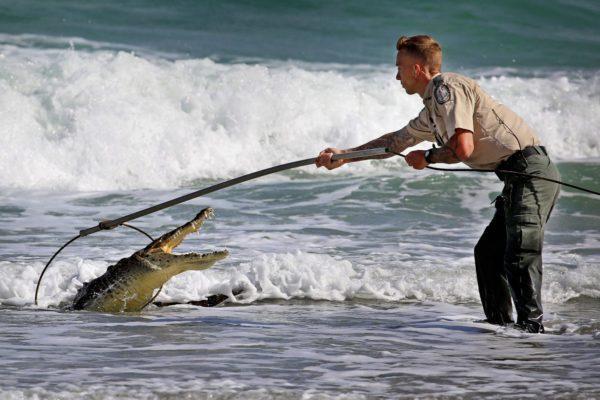 К чему снится поймать крокодила