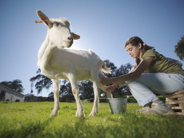 К чему снится доить козу