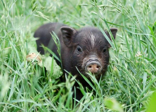К чему снится черная свинья