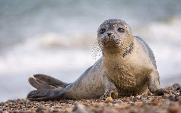 К чему снится тюлень