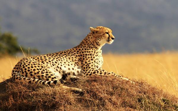 К чему снится гепард