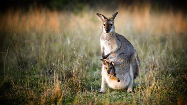 К чему снится кенгуру
