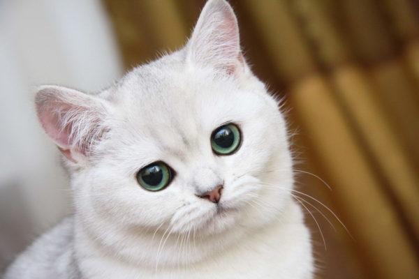 К чему снится белая кошка