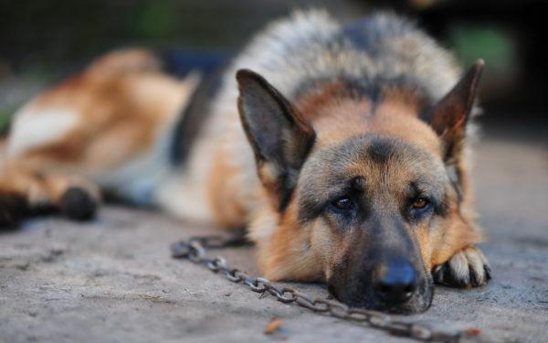 К чему снится своя или чужая собака на цепи