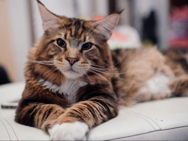 К чему снится большая кошка