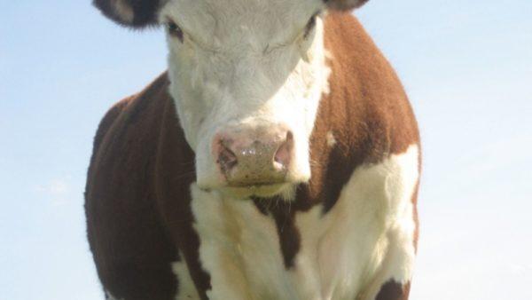 К чему снится корова, которая бодается