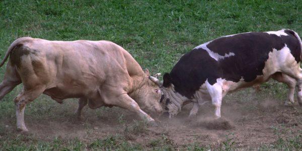 Животные бодаются между собой