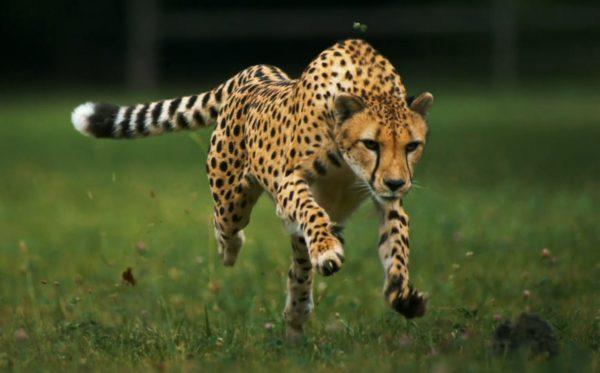 Убегает леопард
