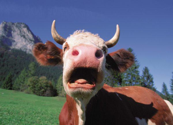 Сонник корова нападает