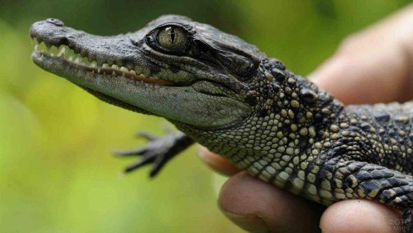 К чему снится маленький крокодил