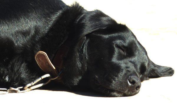 Приснилась спящая черная собака
