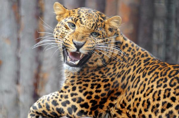 Леопард в грезах