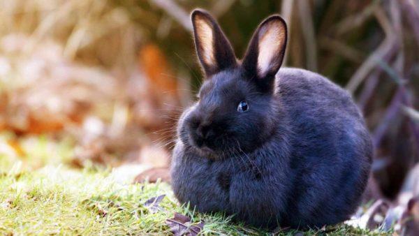 К чему снится черный кролик