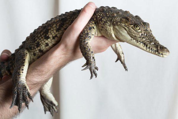 Крокодил в качестве домашнего питомца