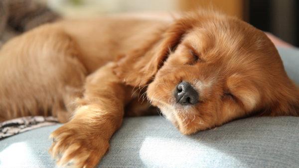 К чему снится мертвый щенок