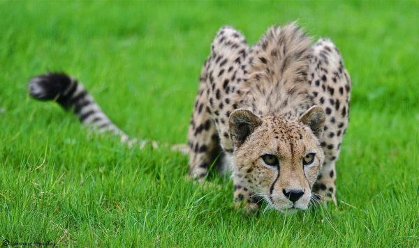 Леопард на траве
