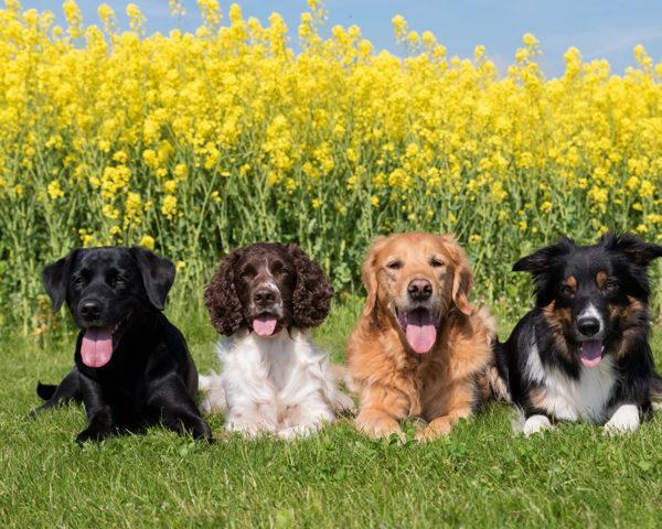 Много добрых собак