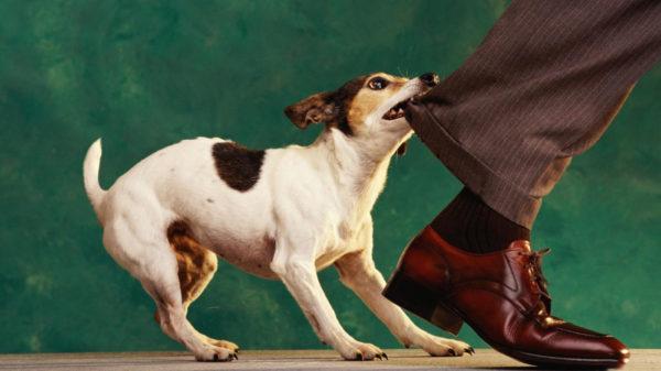 Собака кусает за ногу