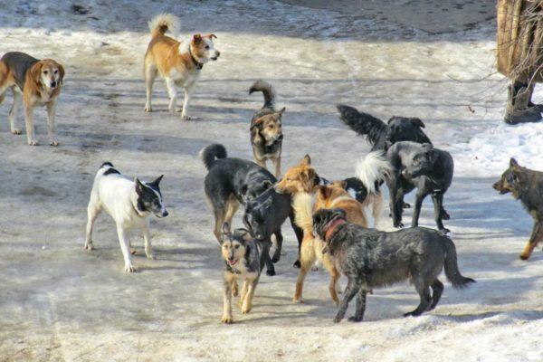 К чему снится, что стая собак нападает