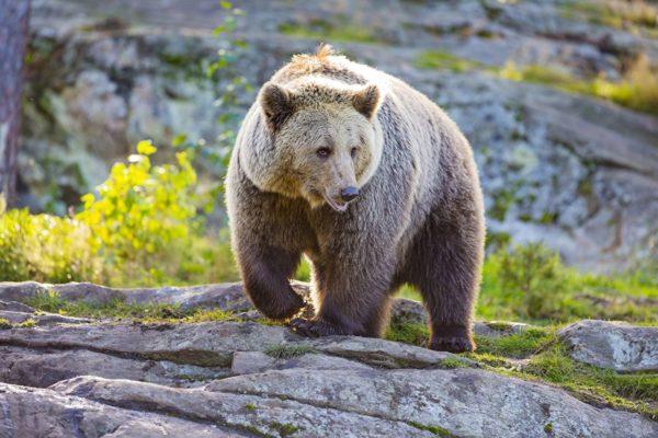Бурый медведь во сне