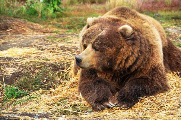 К чему снится бурый медведь девушке