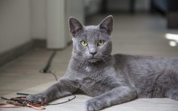 К чему снится серый кот