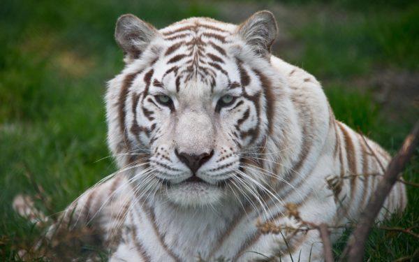Приснился крупный белый тигр