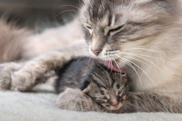 Кошка родила котят – толкование известных сонников