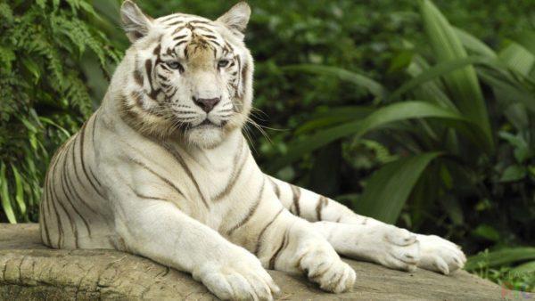 Приснился белый тигр