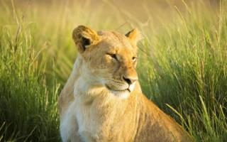 Приснилась львица –  к чему это по соннику