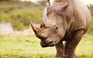 Видеть во сне носорога – к чему это?