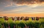 К чему приснилось стадо коров