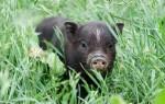 К чему приснилась черная свинья