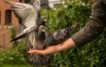 Значение приметы: голубь сел на голову