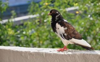 О чем говорят приметы, если голубь залетел на балкон