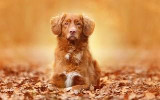Приснилась рыжая собака женщине или мужчне