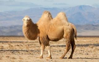 Приснился верблюд: что означает сон для женщины или мужчины