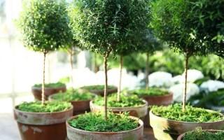 Комнатное растение мирт – приметы и суеверия о цветке