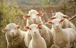 Приснились овцы женщине или мужчине – сонник